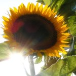Sunflower+Glow+(flickr)